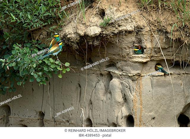 European bee-eaters (Merops piaster), nests in a wall, Burgenland, Austria