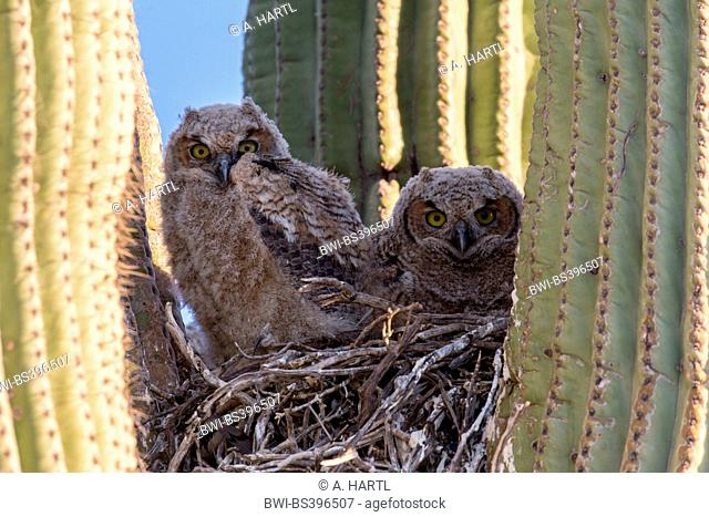 great horned owl (Bubo virginianus), two young birds in downy plumage in the nest in a saguro cactus, USA, Arizona, Sonorawueste, Phoenix