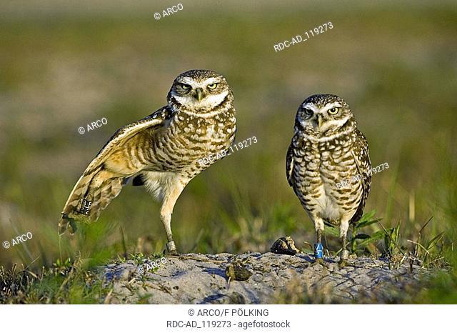 Burrowing Owls pair Cape Coral Florida USA Athene cunicularia