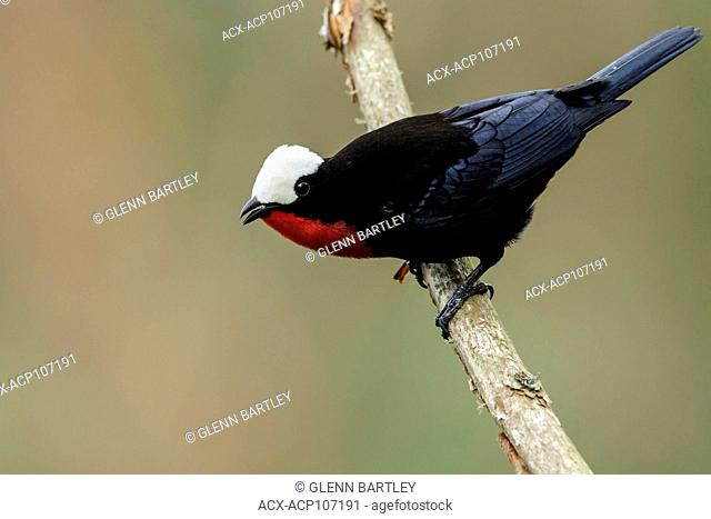 White-capped Tanager (Sericossypha albocristata) perched on a branch in the mountains of Colombia, South America