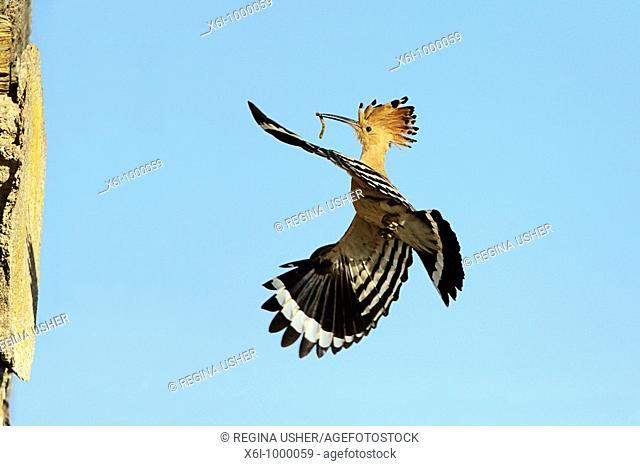 Hoopoe Upupa epops, in flight approaching nest entrance, , Portugal