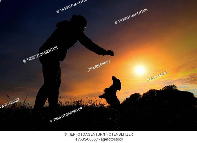begging longhaired Dachshund