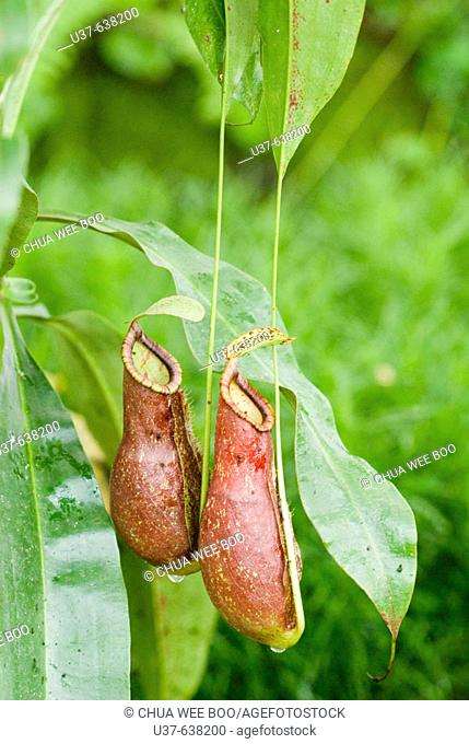 Nepenthes alata (Highland spp). An endemic to the Philippines, pitcher grows to the length of 3-5.Typically bulbous in the lower half and cylindrical above