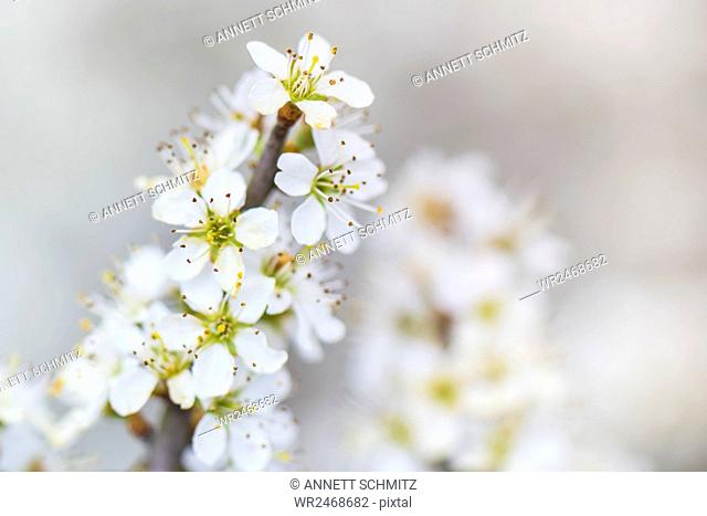 Spring, cherry tree blossom