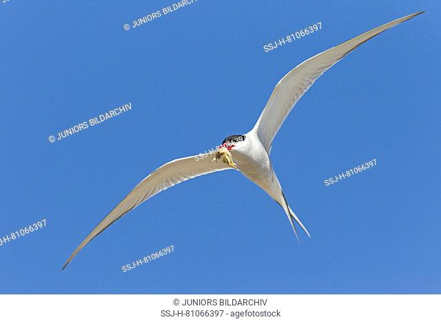 Arctic Tern (Sterna paradisaea), adult in flight with Shore Crab in its bill. Germany