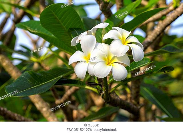 White Frangipani flower at full bloom during summer. White Plumeria, Thailand, close up