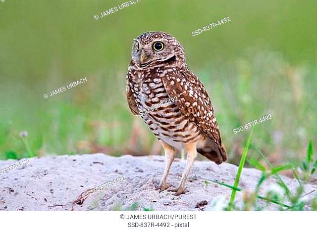 Burrowing Owl Athene cunicularia juvenile on ground