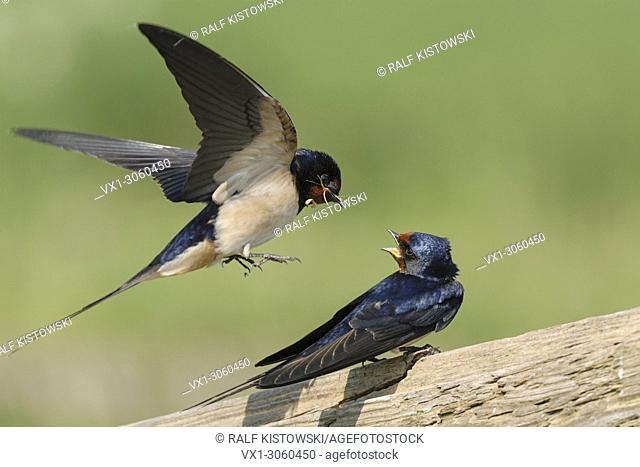 Barn Swallows ( Hirundo rustica ), pair, pair, perched on a wooden fence, courting, presenting nesting material, wildlife, Europe