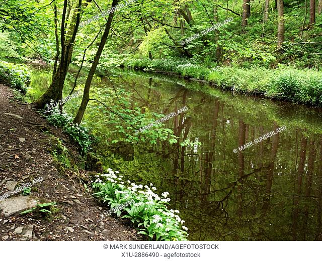 Spring Trees and Wild Garlic by Long Dam Skipton Castle Woods in Spring Skipton North Yorkshire England