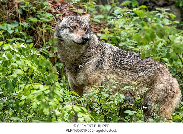 Solitary gray wolf / grey wolf (Canis lupus) looking for prey in brushwood in forest
