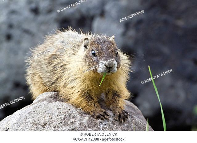 Yellow-bellied marmot Marmota flaviventris, eating grass, near Tunkwa Provincial Park, British Columbia, Canada