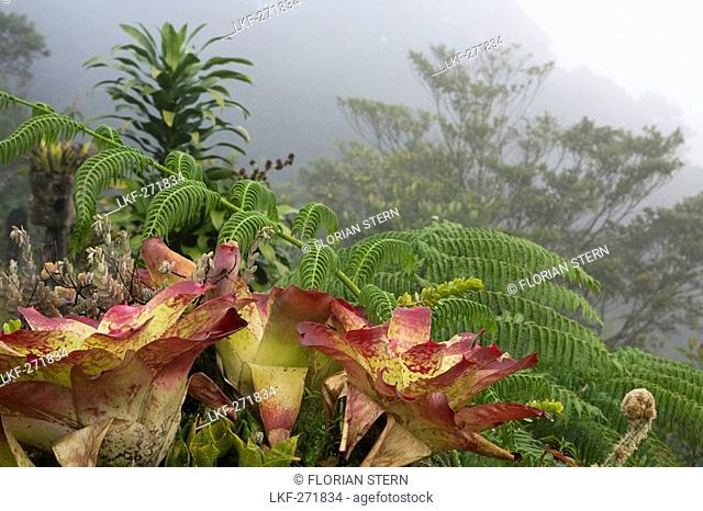 Close-up of bromelias at a mountainside in the fog, Banaue, Luzon, Philippines, Asia