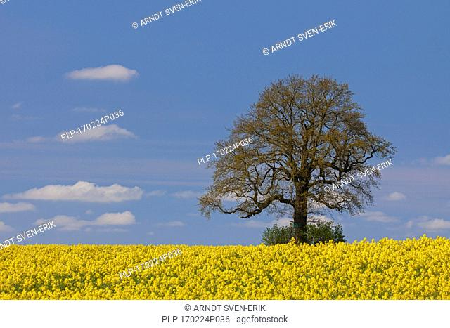 Farmland showing rape field (Brassica napus) in flower and solitary English oak tree (Quercus robur) in spring