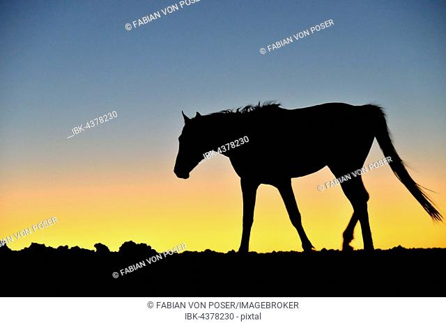 Namib desert horse (Equus ferus) at sunset, backlight, near watering hole at Garub, Aus, Karas Region, Namibia