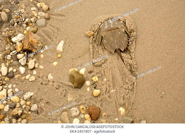 Atlantic horseshoe crab, Limulus polyphemus, found along the American Atlantic coast and in the Gulf of Mexico, coming ashore to breed, Delaware bay, Delaware