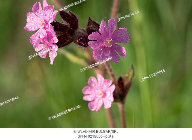 Red campion (Silene dioica) flowers