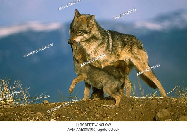 Grey Wolf with Pups(Canis lupus) IC