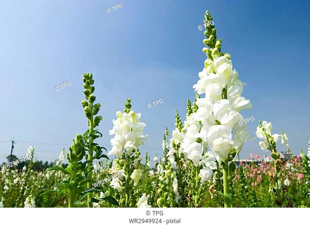 white flowers in the field under blue sky, sunny day, Snapdragon