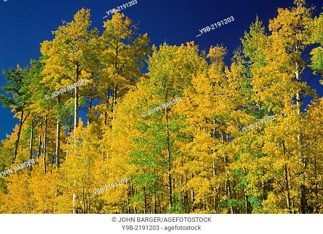 Fall colored aspen grove contrasts with deep blue sky, Uncompahgre National Forest, Colorado, USA