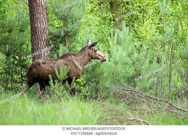 European moose (Alces alces) in summer, Sweden, Smaland, Scandinavia, Europe