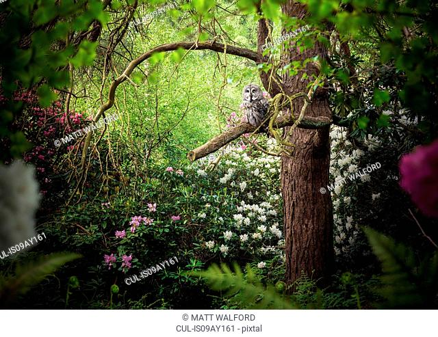 Grey coloured owl perched in forest tree