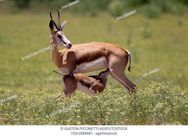 Springbok (Antidorcas marsupialis)- Mother and lamb, Kgalagadi Transfrontier Park in rainy season, Kalahari Desert, South Africa/Botswana