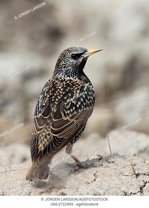 Starling (Sturnus vulgaris), Stockholm, Sweden