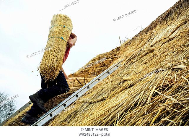 Thatcher carrying a yelm of straw up a roof