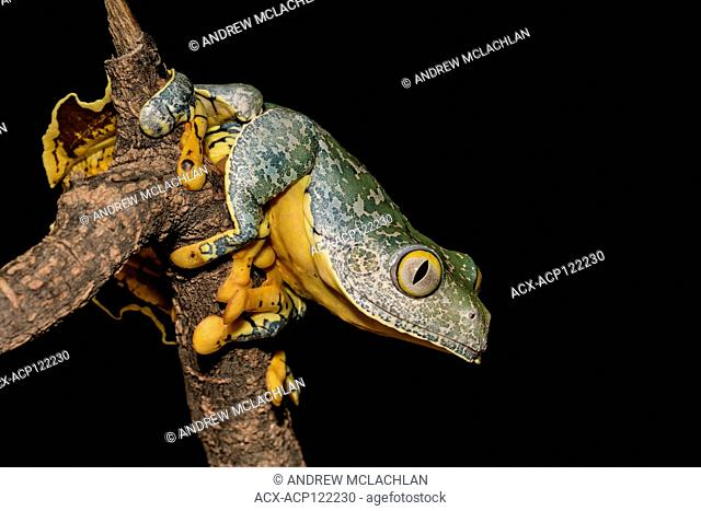 Fringed Tree Frog (Cruziohyla craspedopus) - captive bred. Endemic to Brazil, Colombia, Ecuador, Peru