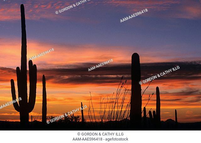 Saguaro Cacti silhouetted against AZ Sunset, Saguaro N.P