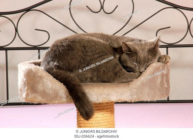 Domestic cat. Blue cat sleeping on a pet bed on a scratching post. Spain