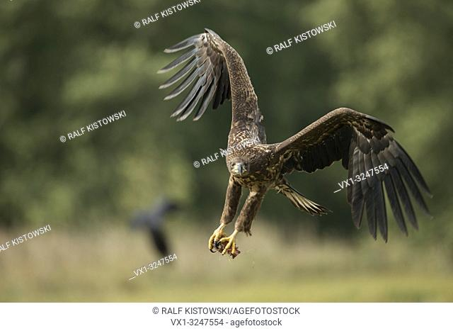 White-tailed Eagle / Sea Eagle / Seeadler ( Haliaeetus albicilla ) young adolescent in flight, flying in, arriving, with hanging talons, powerful frontal shot