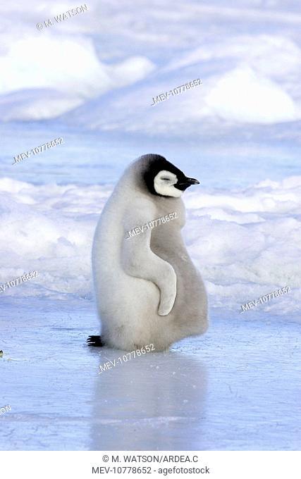 Emperor Penguin - chick resting on ice (Aptenodytes forsteri)