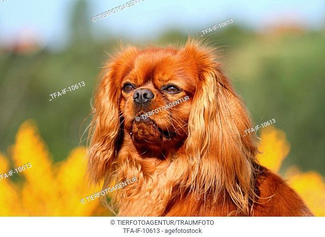 Cavalier King Charles Spaniel Portrait