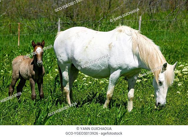 White Camargue Horse,Equus ferus caballus, France