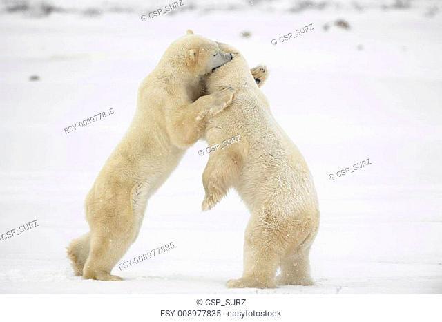 Fighting polar bears