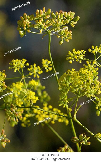 Sickle-leaved hare's-ear (Bupleurum falcatum), blooming, Germany