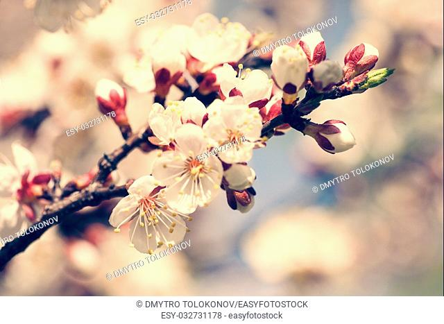 Cherry blooming, beauty spring backgrounds for your design