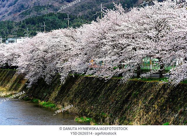 Sakura along Kamo river, Kyoto, Japan