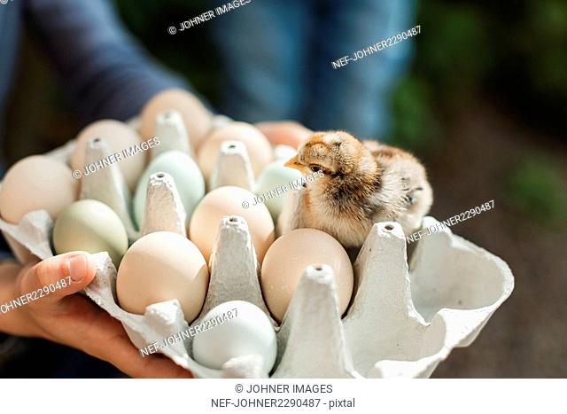 Hands holding egg box with eggs and chick