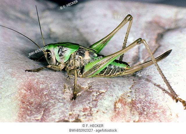 wart-biter, wart-biter bushcricket (Decticus verrucivorus), larva, female with long ovipositor, Germany
