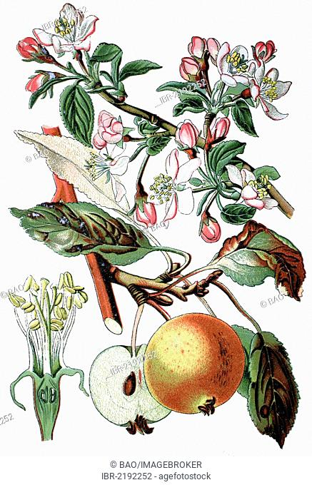 Apple tree (Pyrus malus, Malus domestica), useful plant, historical chromolithography, about 1870