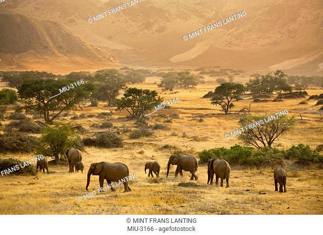Desert elephants, Loxodonta africana, in the Huab River valley, Torra Conservancy, Damaraland, Namibia