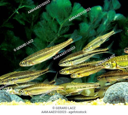 Minnow (Phoxinus Phoxinus) Shoal Of Fishes