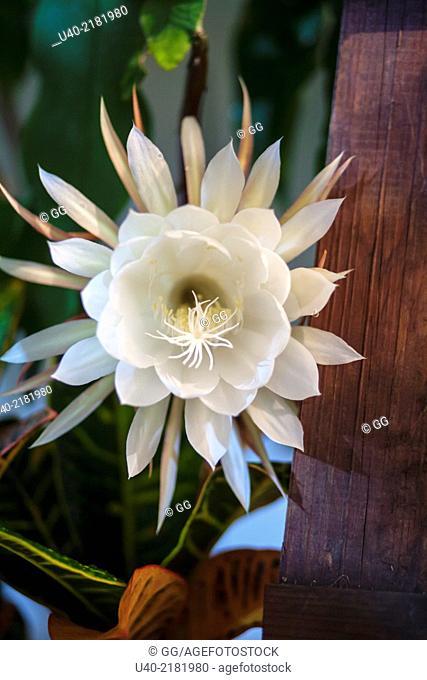 Queen of the night flower in bloom