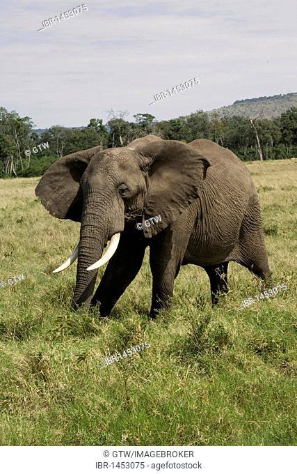 African Elephant (Loxodonta africana), Masai Mara National Park, Kenya, East Africa
