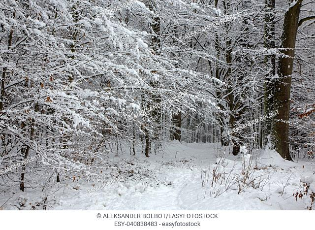 Winter landscape of natural forest with birch and hornbeam trees snow wrapped, Bialowieza Forest, Poland, Europe