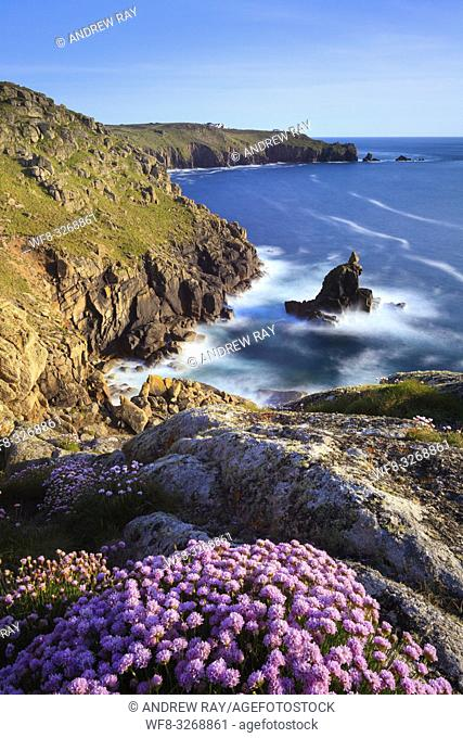 Sea thrift on Mayon Cliff, near Sennen Cove in the far West of Cornwall captured in late May