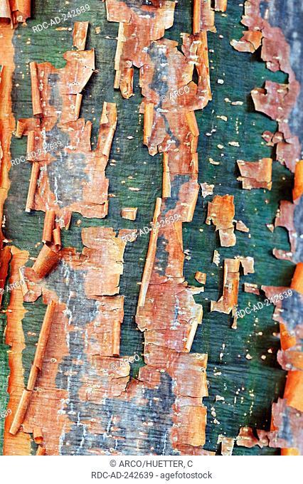 Gumbo Limbo tree bark Everglades national park Florida USA Bursera simaruba Burseraceae