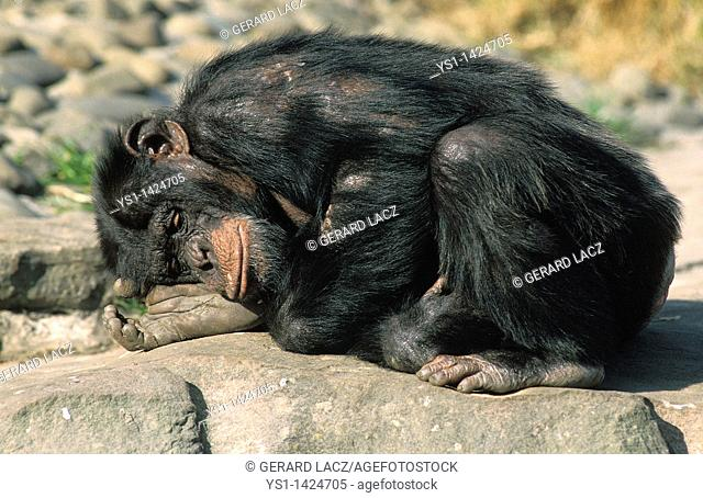 CHIMPANZEE pan troglodytes, ADULT SLEEPING ON ROCK